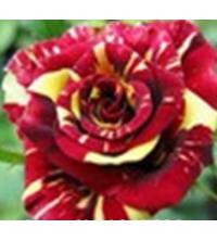 Lot 25 graines Rares Rainbow Rose amant Coloré